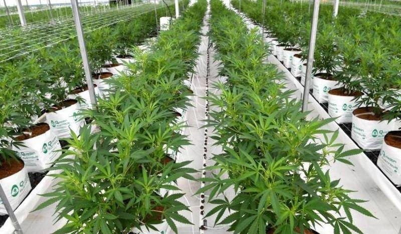 San Pedro tendrá el primer parque industrial de producción de cannabis