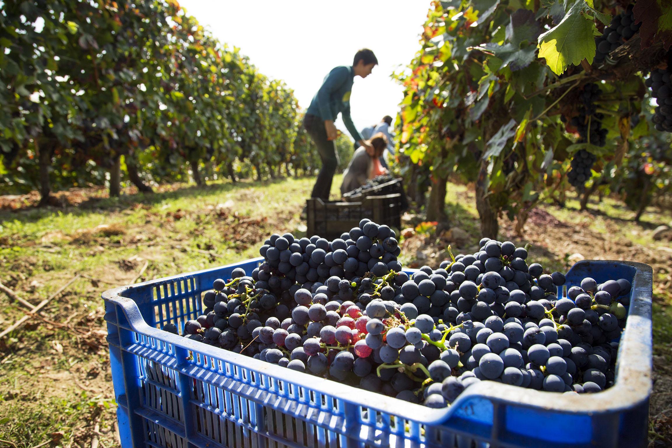 La cosecha de vinos 2021 fue excelente en la mayoría de las regiones de la Argentina